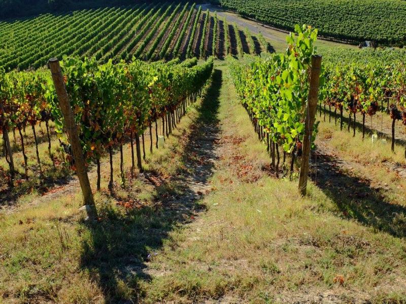 Vigneti di / Vineyards at Agriturismo Girasole, Gambassi Terme