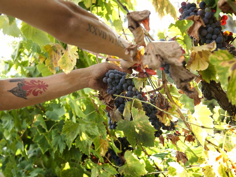 Agriturismo Pompone e Pola - la vendemmia