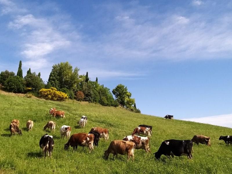 Poggio di Camporbiano - Mucche al pascolo