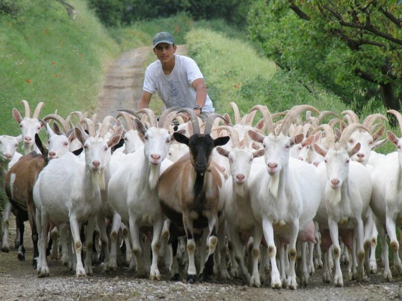 Poggio di Camporbiano - Pastore e capre