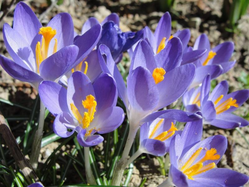 Lo zafferano di Maria Elena in fiore a La Taverna - Gambassi Terme